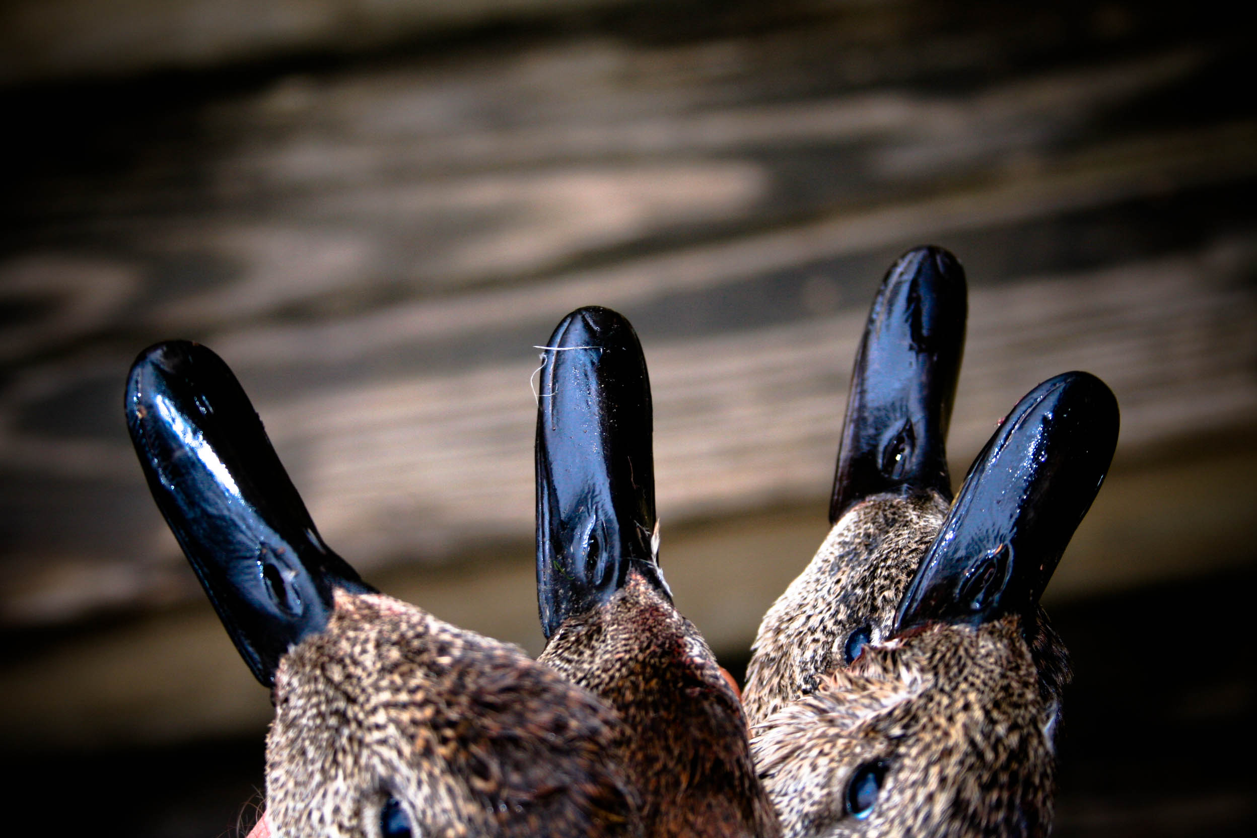 "Ain't Nothing but a ""G"" Thing: A Gadwall Exposé"